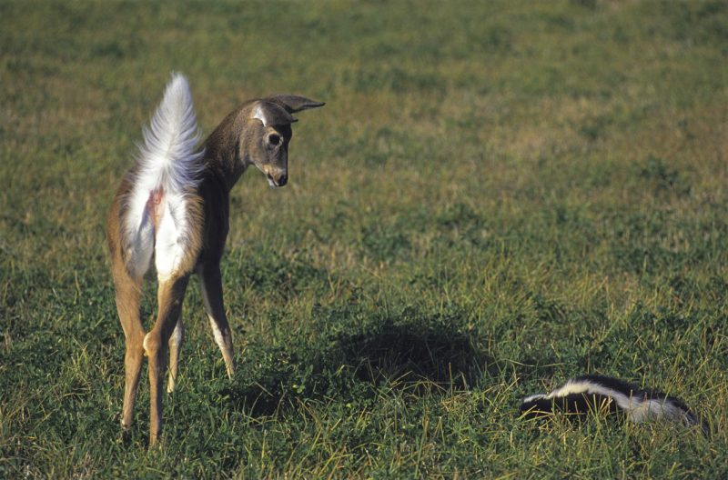A young White-tail Deer buck is surprised by a Striped Skunk in Montana.