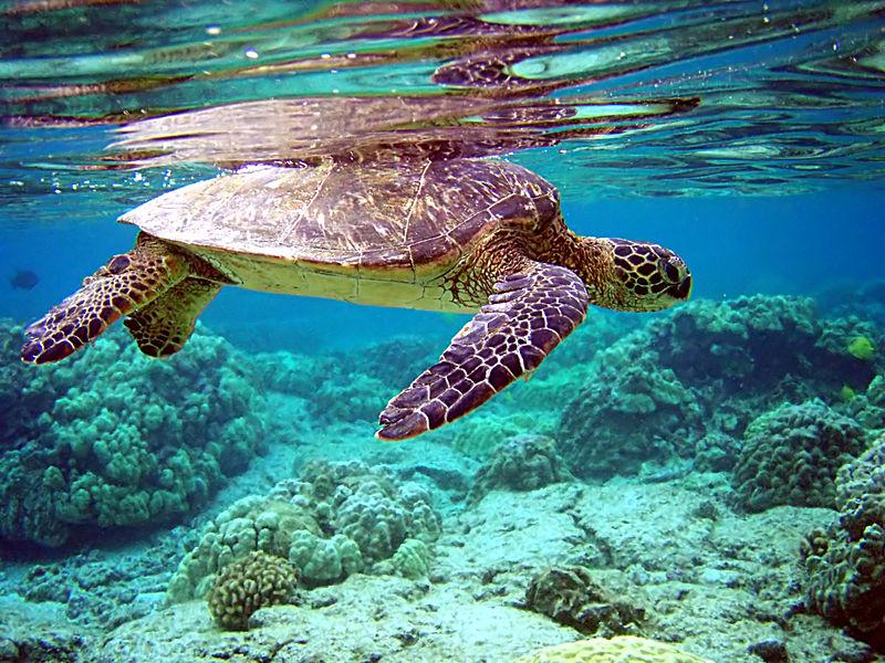 Green sea turtle - Author: Brocken Inaglory - GFDL