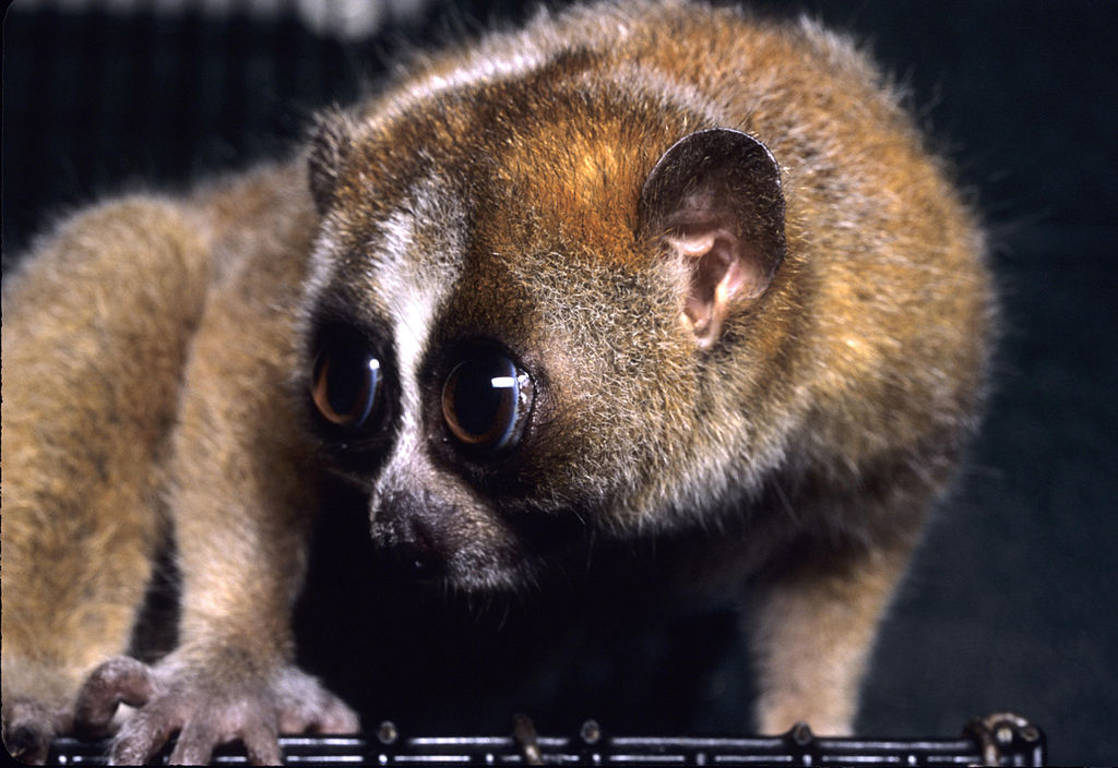 The eyes of slow lorises are large and have a reflective layer, called the tapetum lucidum, to help them see better at night - Author: David Haring - CC BY-SA 3.0