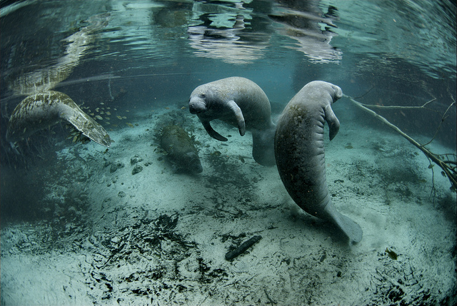 Endangered Florida manatee (Trichechus manatus), Crystal River National Wildlife Refuge, Florida – Author: USFWS Endangered Species – CC BY 2.0