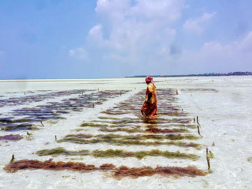 Seaweed farming in Paje, Zanzibar
