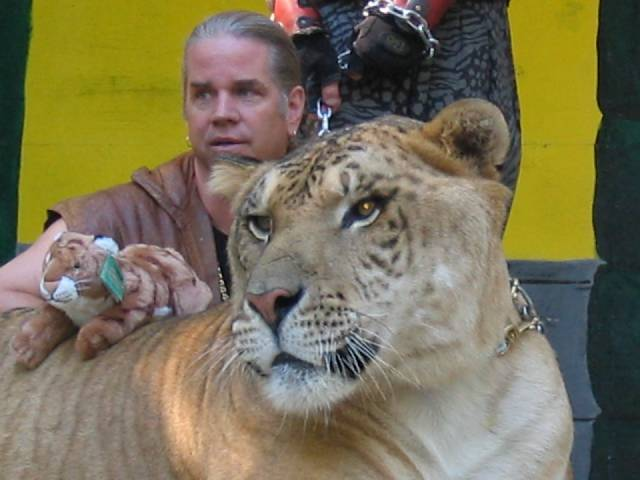 Hercules the liger and his trainer Bhagavan Antle – Author: Andy Carvin – CC BY-SA 2.5