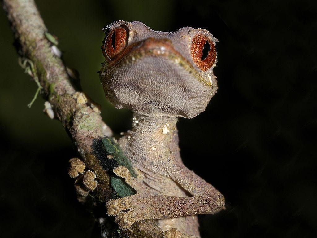Satanic Leaf Tailed Gecko  - Author: Frank Vassen - CC BY 2.0
