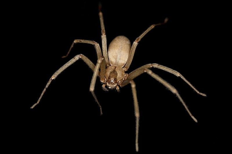 This brown recluse or violin spider (Loxosceles reclusa) is a species of spider native to North America. – Author: Rosa Pineda – CC BY-SA 3.0