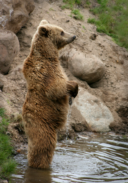 Bears stand up to get a clearer view of something curious.