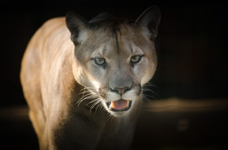 Don't run from a cougar, you won't stand a chance if you do.