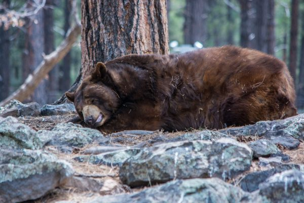 Bears remain semi-alert when hibernating in the winter.
