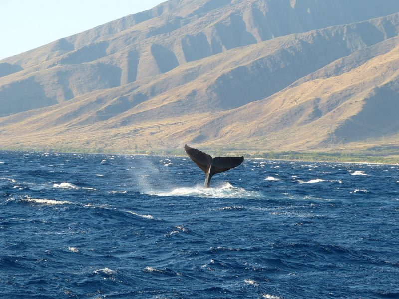 Whale watching on Maui – James Brennan Molokai Hawaii – Author: James Brennan Moloka – CC BY 3.0