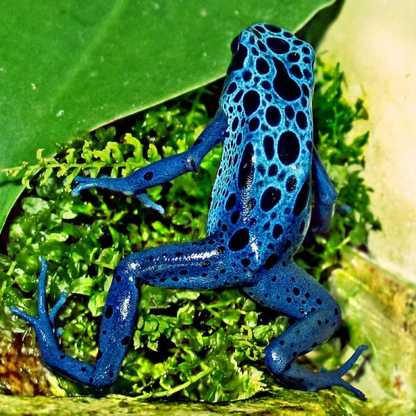 Blue Poison Dart Frog – Author: Wildfeuer – CC BY-SA 3.0