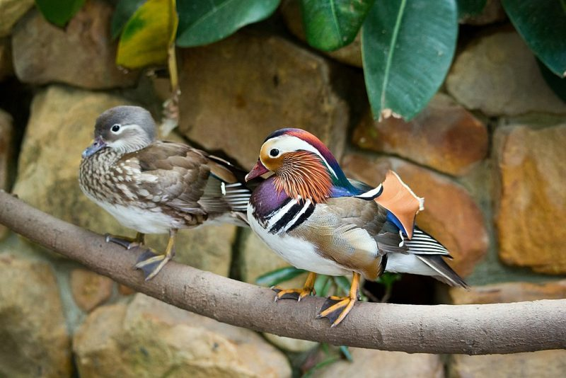 Male and female mandarin ducks on a branch – Author: RonPorter – CC0