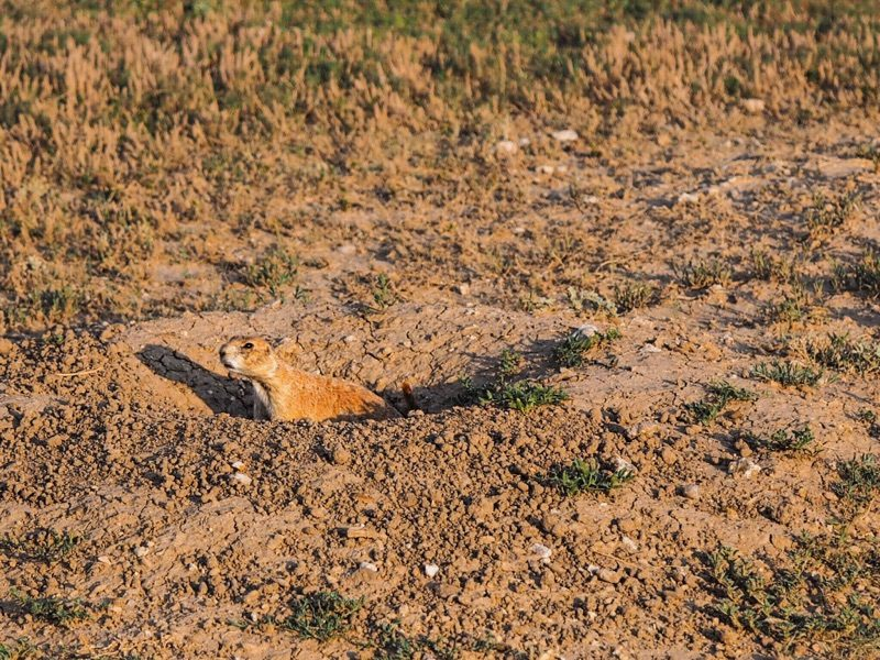 A Prairie Dog; part of the extensive colony located in Wind Cave National Park – Author: Mycatisnamedlunameowmeowmeow – CC BY-SA 4.0