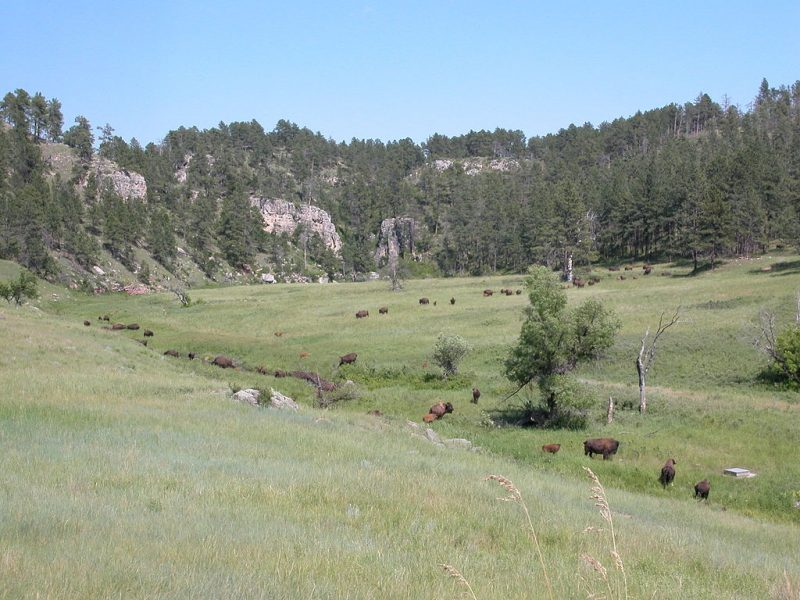 Part of the Wind Cave bison herd – Author: Downshifter – CC BY-SA 3.0