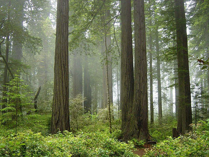 Coast redwood forest and understory plants — in Redwood National Park, California – Author: Michael Schweppe – CC BY-SA 2.0