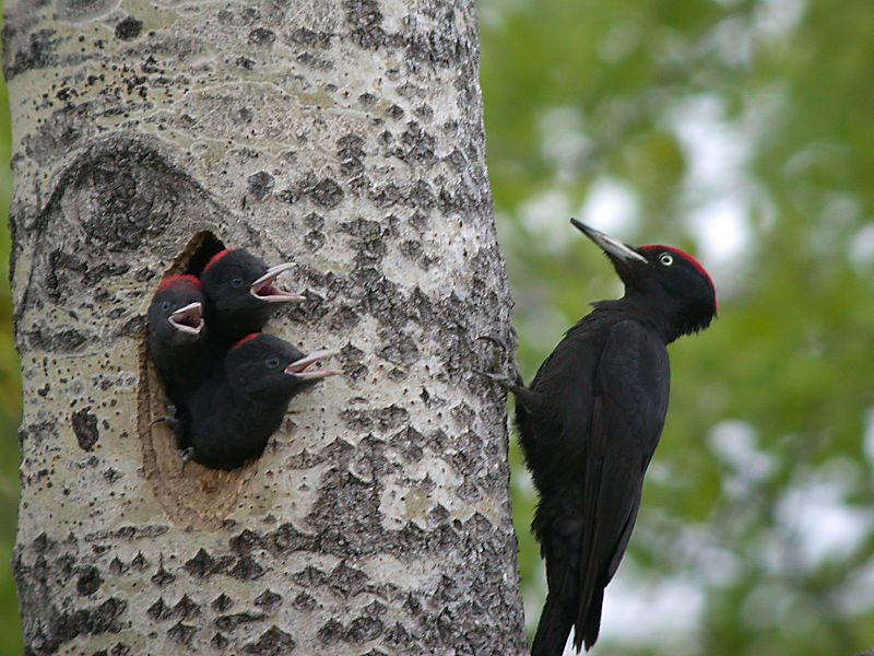 A male black woodpecker attending its chicks – Author: Alastair Rae – CC BY-SA 2.0