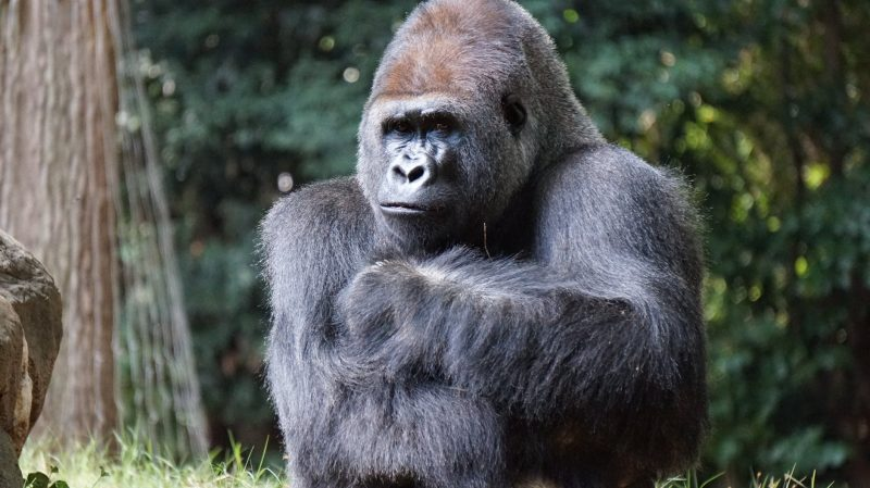 Gorillas are a critically endangered species.