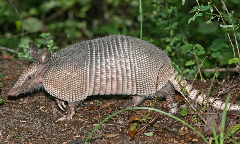 A nine-banded armadillo in the Green Swamp, central Florida – Author: http://www.birdphotos.com – CC BY 3.0