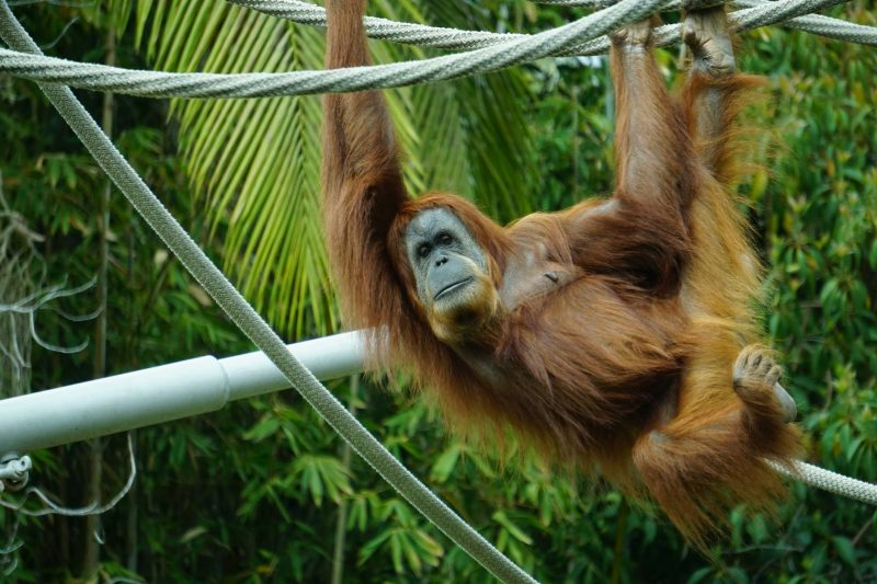 Orangutans are native to the islands of Borneo and Sumatra.