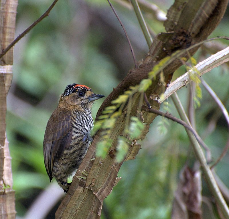 Ochre-collared piculet – Author: Dario Sanches – CC BY-SA 2.0