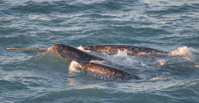 A pod of narwhals. Note the spiral configuration of the single tusk – Author: Dr. Kristin Laidre