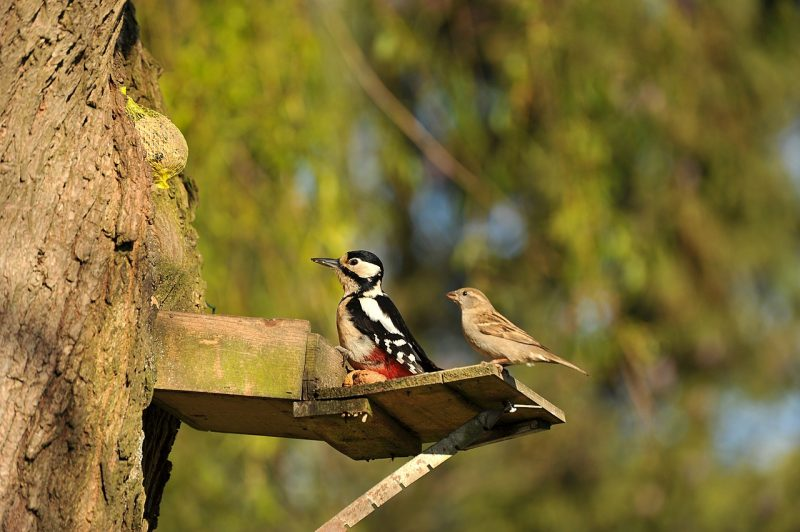 A woodpecker searching for a home