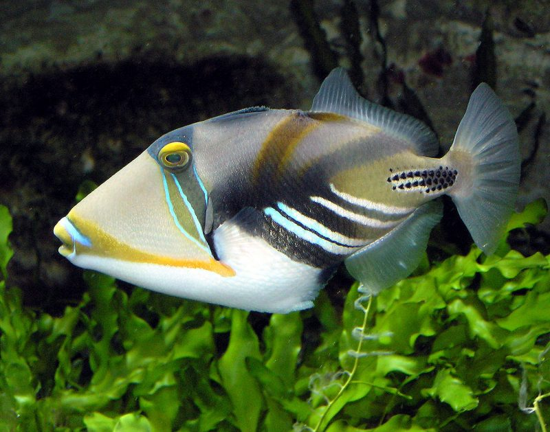 He also lived off Triggerfish