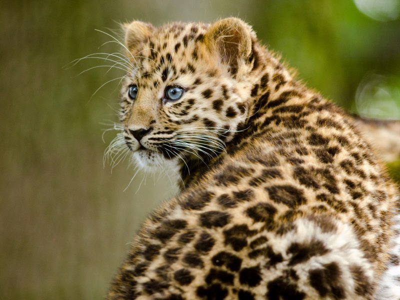 Amur Leopard cubs often become prey for other animals