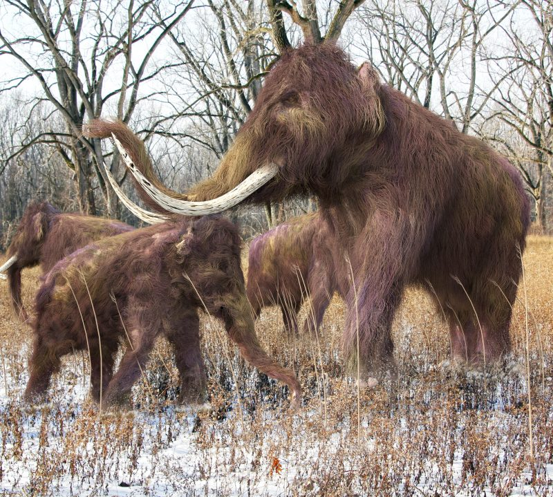 An illustration of a family of Woolly Mammoths feeding on wild grass in an ice age forest.