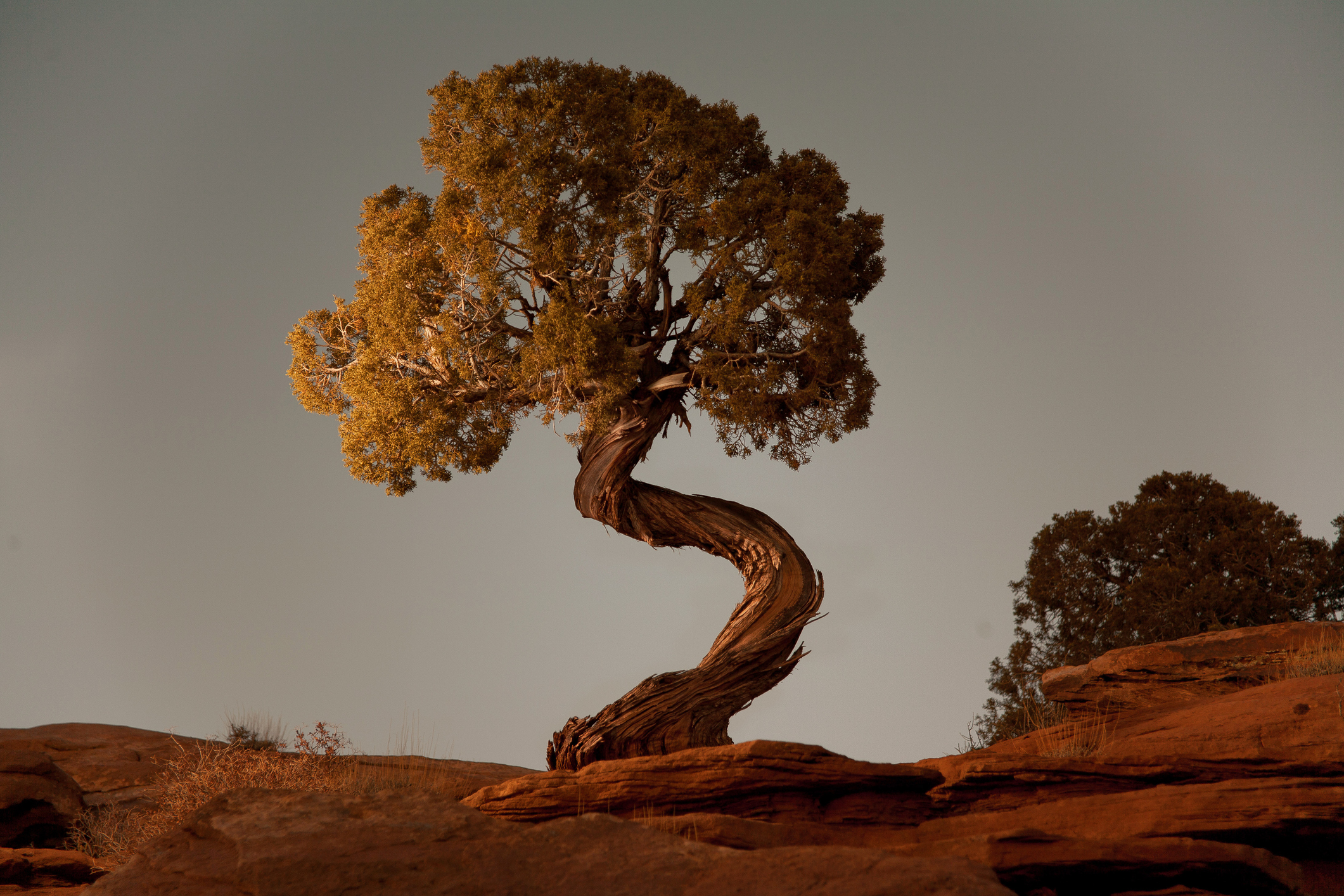 Stock Images. A spiral juniper tree at Deadhorse Point State Park near Moab, Utah