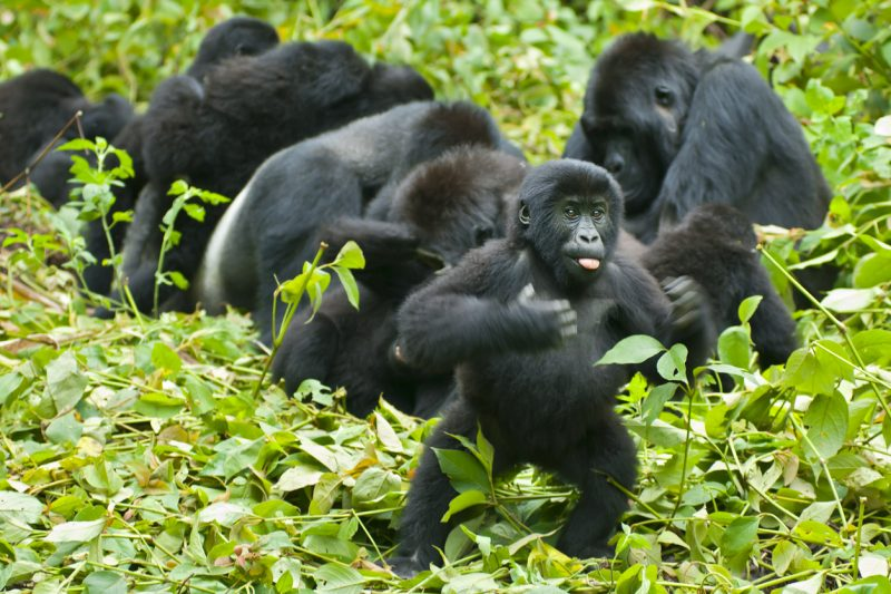 """The park assured readers saying, """"Also, it's no surprise to see these girls on their two feet either—most primates are comfortable walking upright (bipedalism) for short bursts of time."""""""