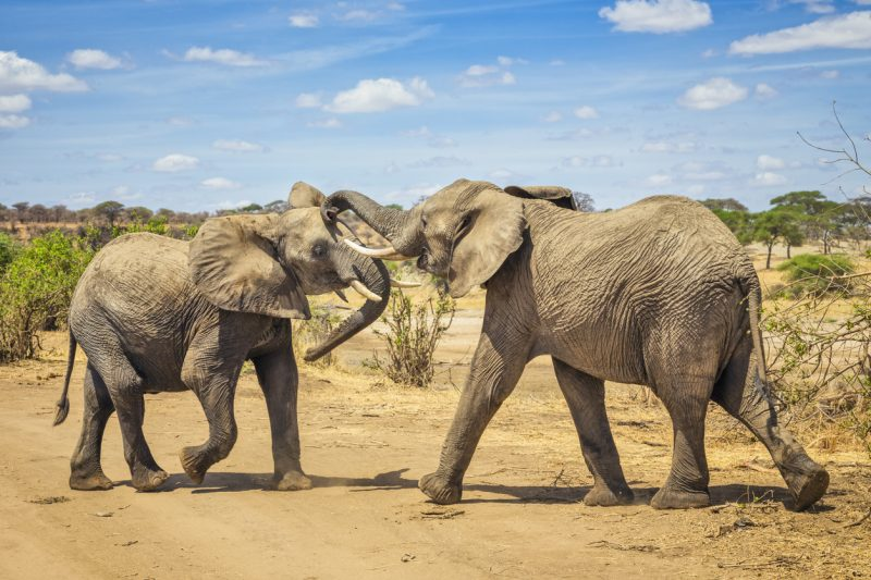 Researchers counter that elephants are still in their breeding prime at this age, and, in fact, are more important to the continuation of the species