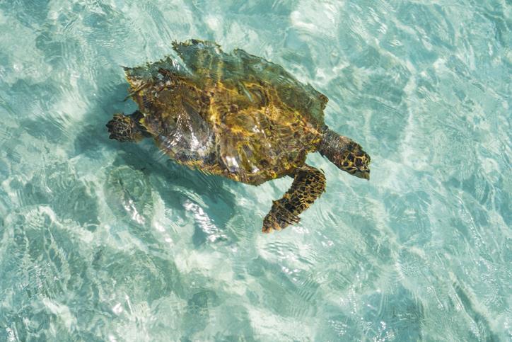 The green sea turtle returns each year in April to lay its eggs on Noonu Atoll Beach on Maafaru Island.