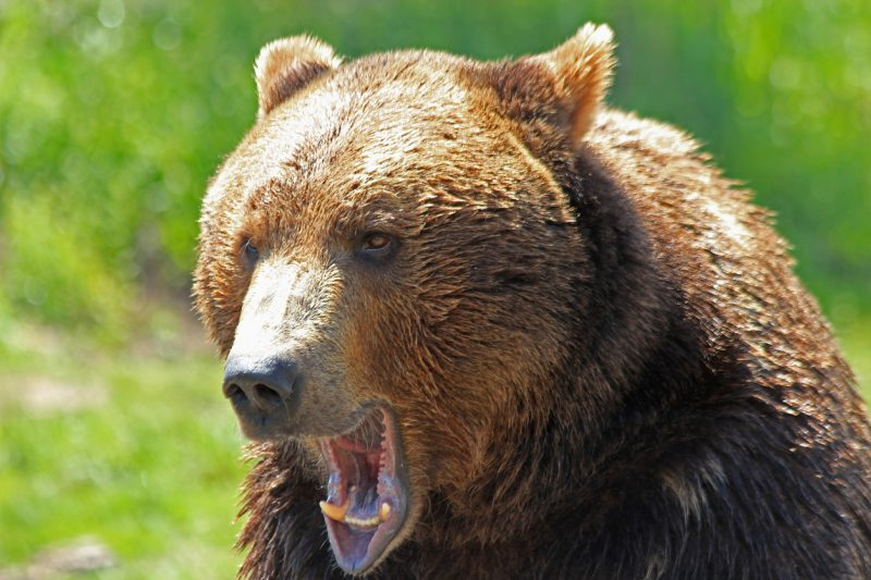 Wildlife officials stated that based on the boy's description of the incident, it's very likely that the bear who attacked him was a grizzly