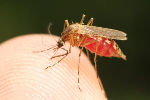 Mosquitoes are the common culprit for the spreading of malaria, so be careful