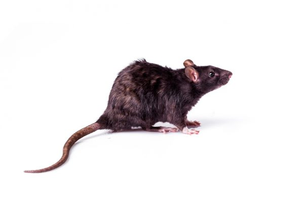 Rats rarely if ever sound appetizing, but you can eat them to survive if you have to