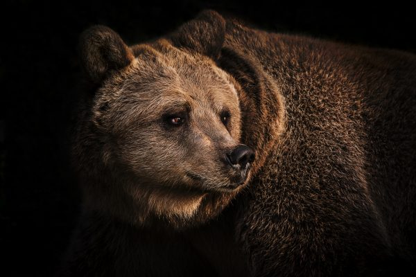 Brown bears, such as those found across the Northern Hemisphere in Europe, Asia, and North America, are larger and more unpredictable than black bears. You will need to be careful around them.