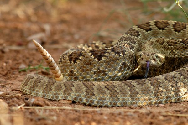 When you see a rattlesnake in a defensive position like this, it's time to leave