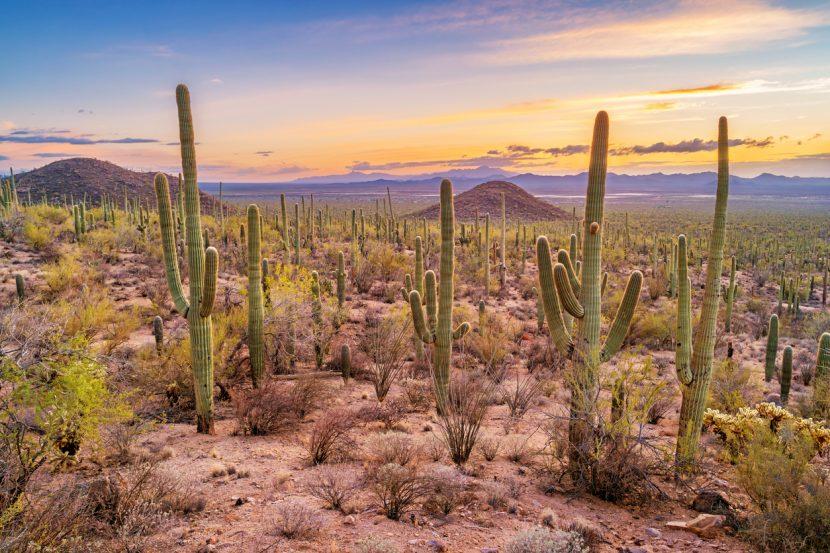 Stock photograph of a saguaro cactus forest in Saguaro National Park, Arizona, USA during sunset.