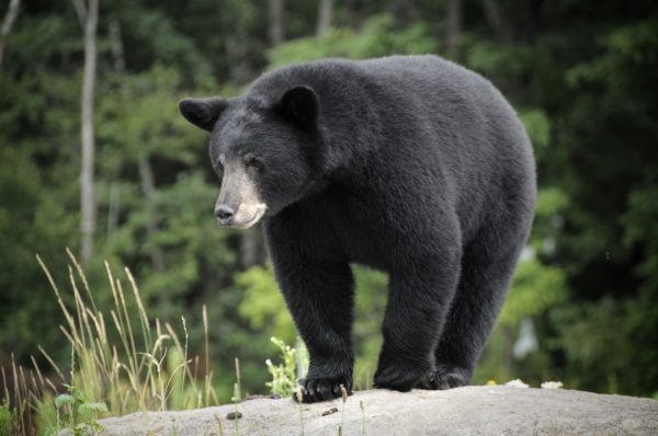 While black bears are smaller and less aggressive than their brown bear counterparts, you should still not underestimate them.