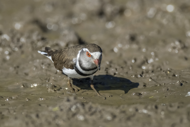 Mud shores also attract various forms of bird life that come to feed when the tide is low.
