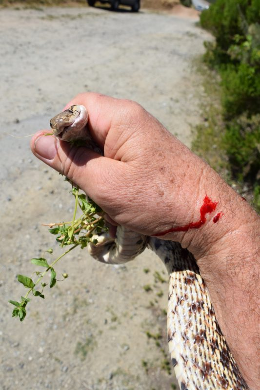 After you have been bitten, don't try to catch, kill, get a photo of, or do anything else to the snake that will aggravate it