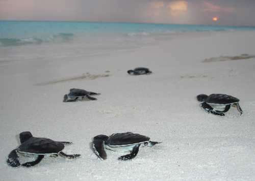 Green turtle hatchlings makings their way to the sea – Author: A robustus – CC BY-SA 3.0