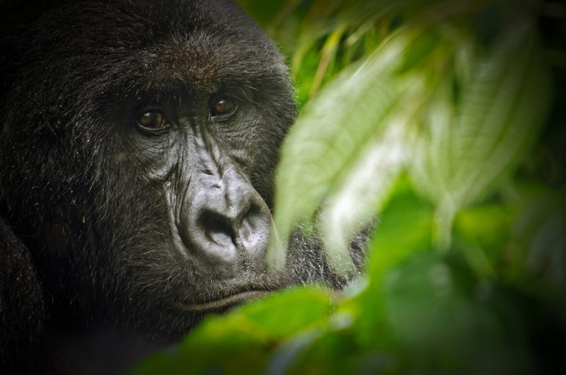 Shamavu is a caretaker for gorillas and other wildlife at the Virunga National Park in the Democratic Republic of Congo – Author: LuAnne Cadd – CC BY-SA 3.0