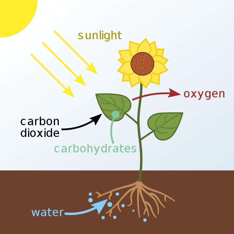 As part of the photosynthesis process, trees remove this carbon dioxide to form carbohydrates to help them grow leaves and new fibers – Author: At09kg – CC BY-SA 4.0