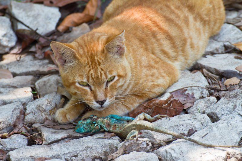 Feral cat hunting a lizard.