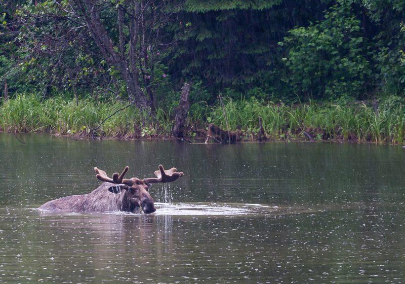 Chena River Bull Moose