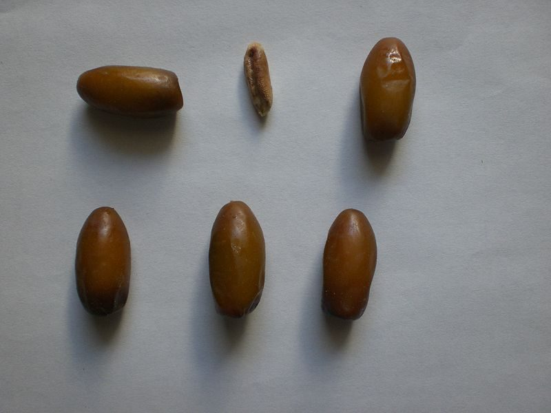 Dates and date seed – Auhtor: Madhif – CC BY 3.0
