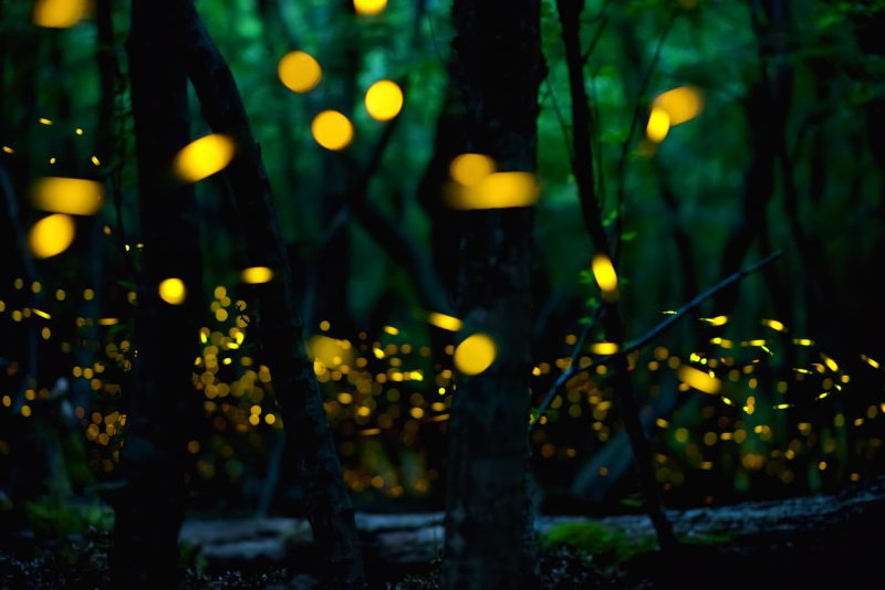The male fireflies synchronize their lights in the Great Smoky Mountains to attract female fireflies