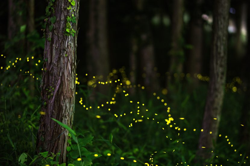 Fireflies On Their Way to Light Up the Great Smoky Mountains Again This Year