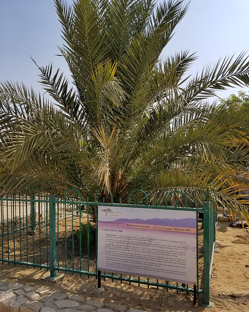 The Judean Date Palm at Ketura, Israel, nicknamed Methuselah - Author: DASonnenfeld - CC BY-SA 4.0