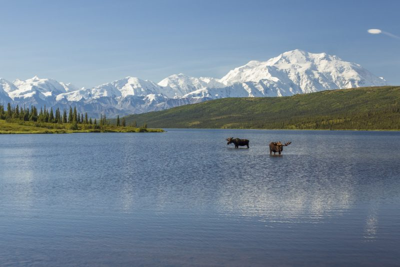 Two moose in a lake in Alaska